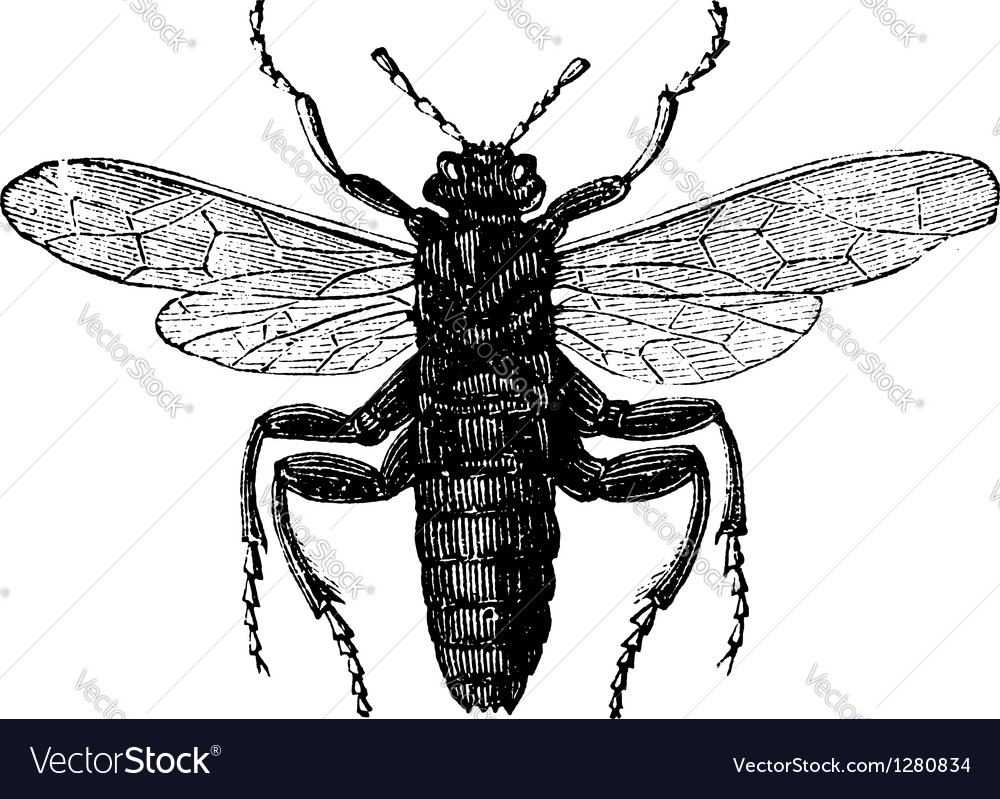 Elm sawfly vintage engraving vector | Price: 1 Credit (USD $1)