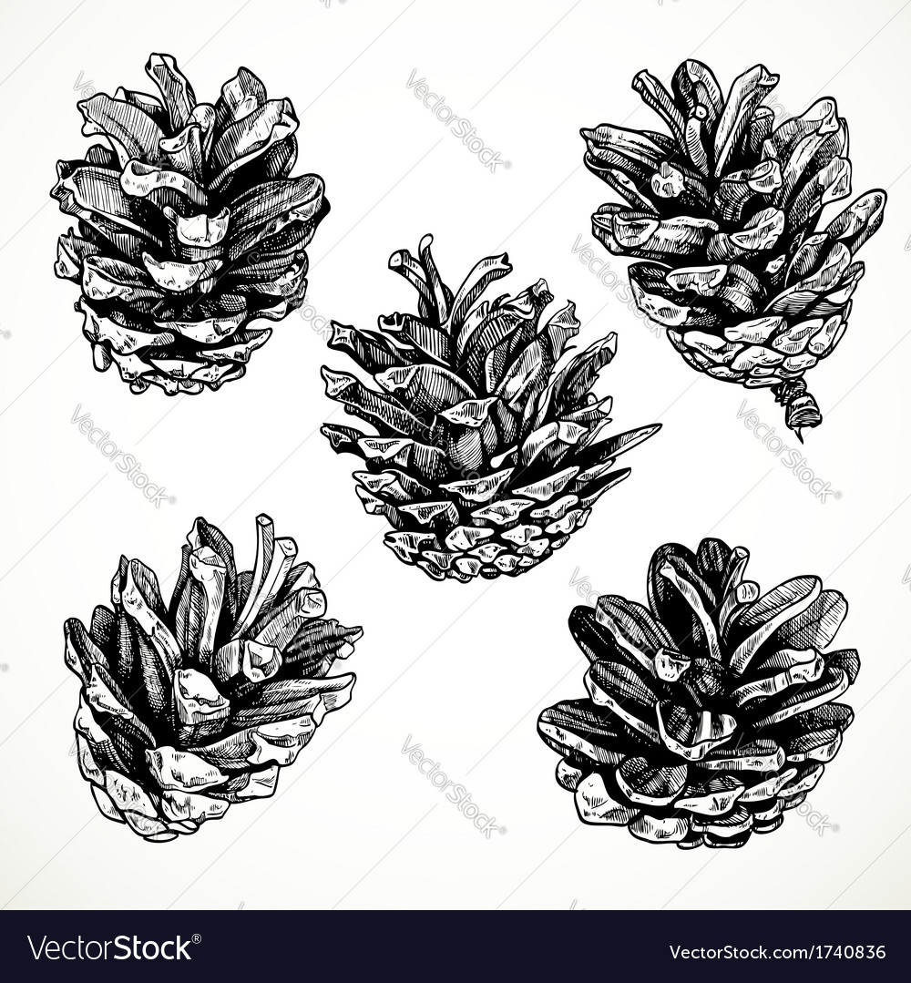 Sketch drawing pine cones on white background vector | Price: 1 Credit (USD $1)