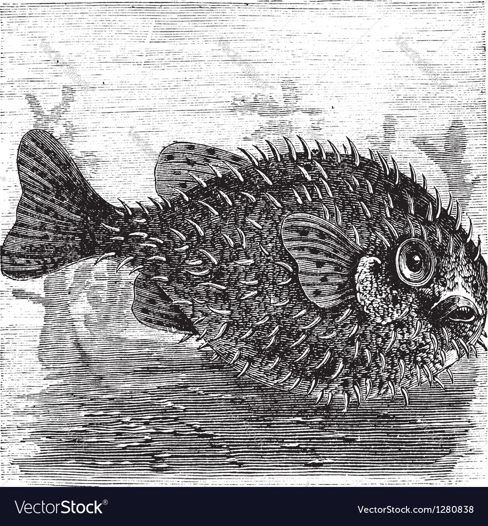 Porcupine fish engraving vector | Price: 1 Credit (USD $1)