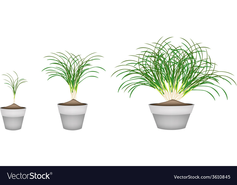 Lemon grass plants in ceramic flower pots vector | Price: 1 Credit (USD $1)