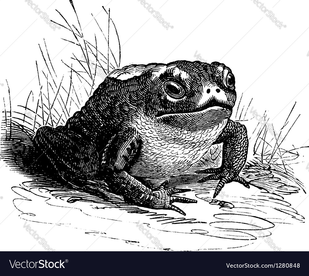 Common toad vintage engraving vector | Price: 1 Credit (USD $1)