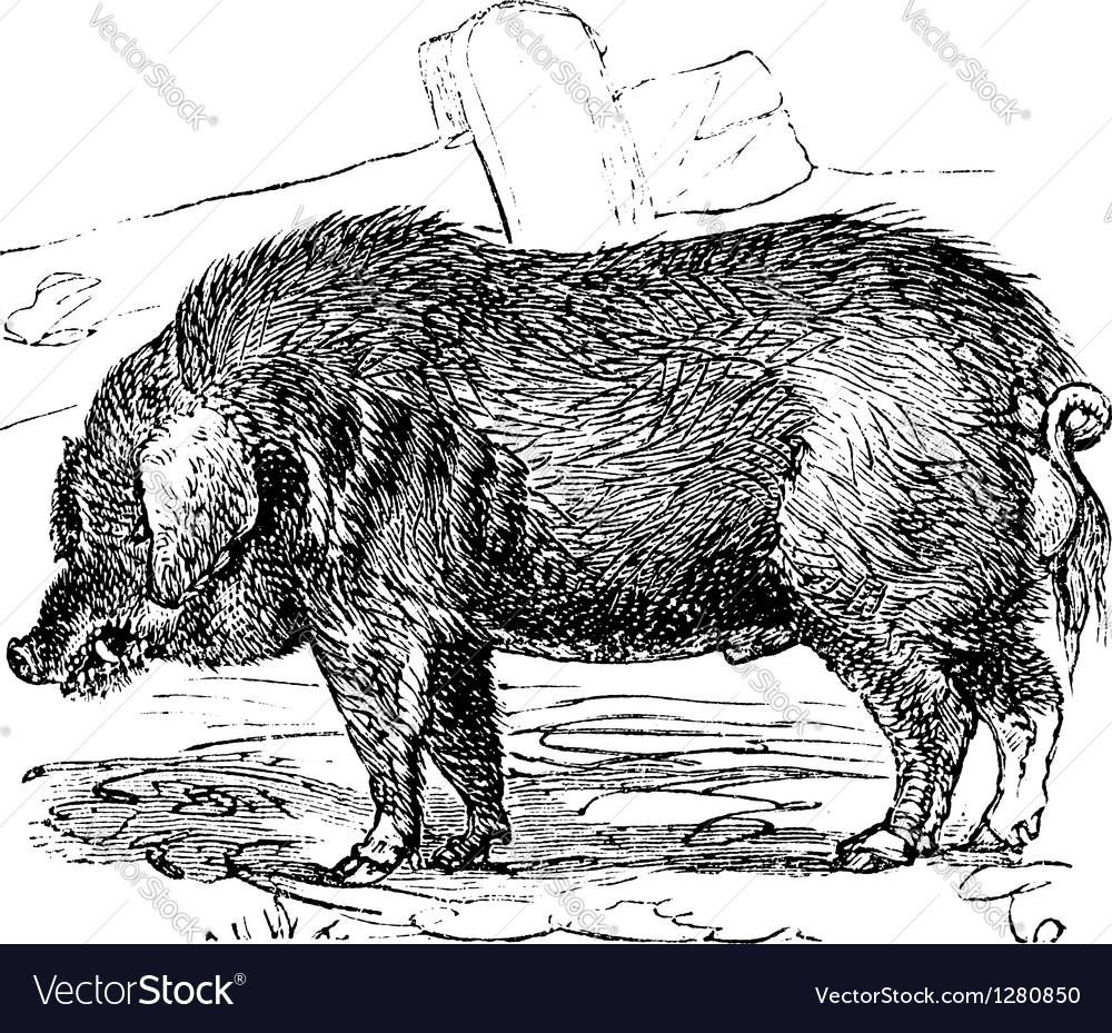Hog vintage engraving vector | Price: 1 Credit (USD $1)