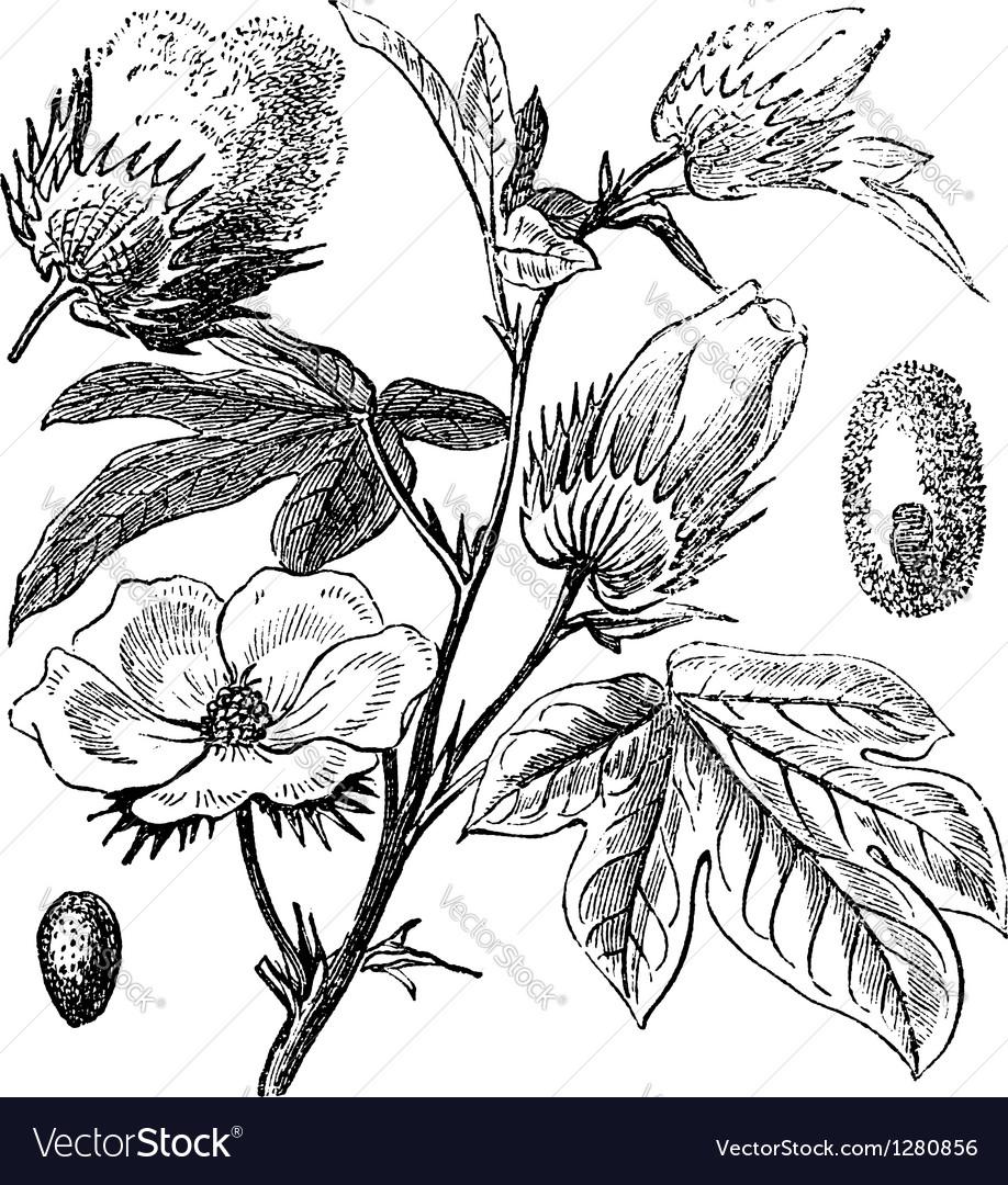 Pima cotton vintage engraving vector | Price: 1 Credit (USD $1)