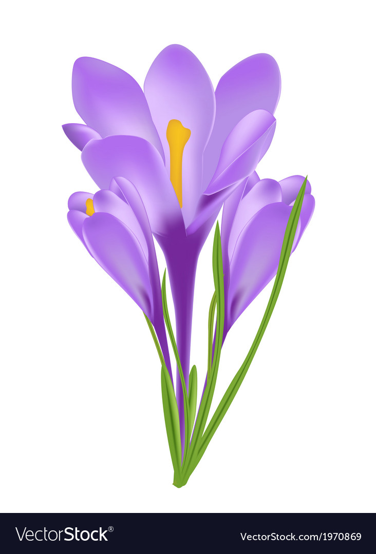 Crocus flower isolated on white vector | Price: 1 Credit (USD $1)