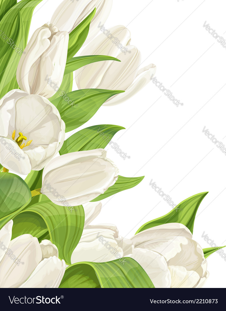 White tulips on white background vector | Price: 1 Credit (USD $1)