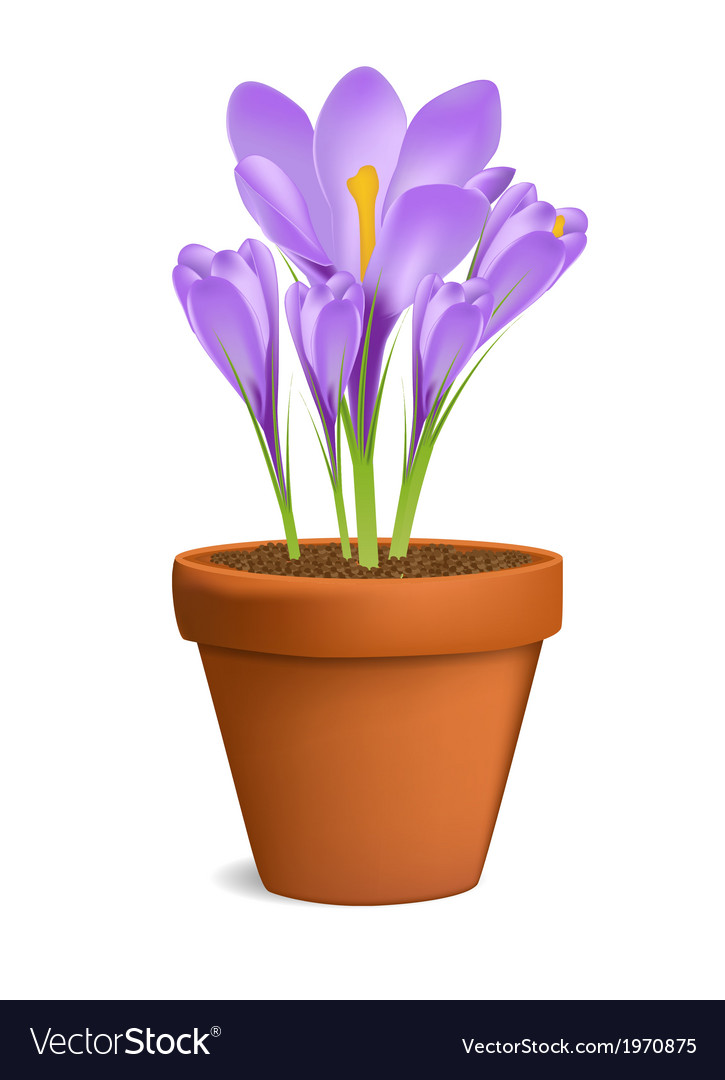 Crocuses in flowerpot isolated on white vector | Price: 1 Credit (USD $1)