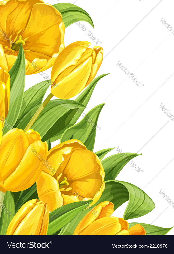 Yellow tulips on white background vector | Price: 1 Credit (USD $1)