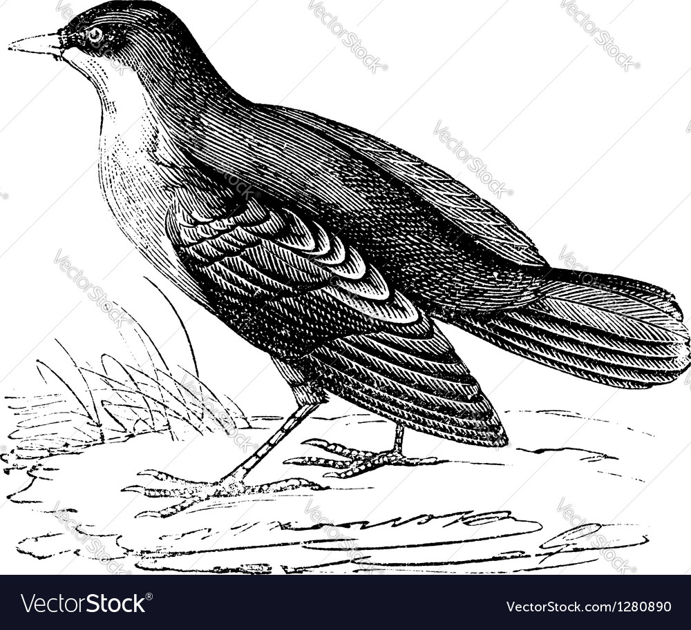 Storm petrel vintage engraving vector | Price: 1 Credit (USD $1)