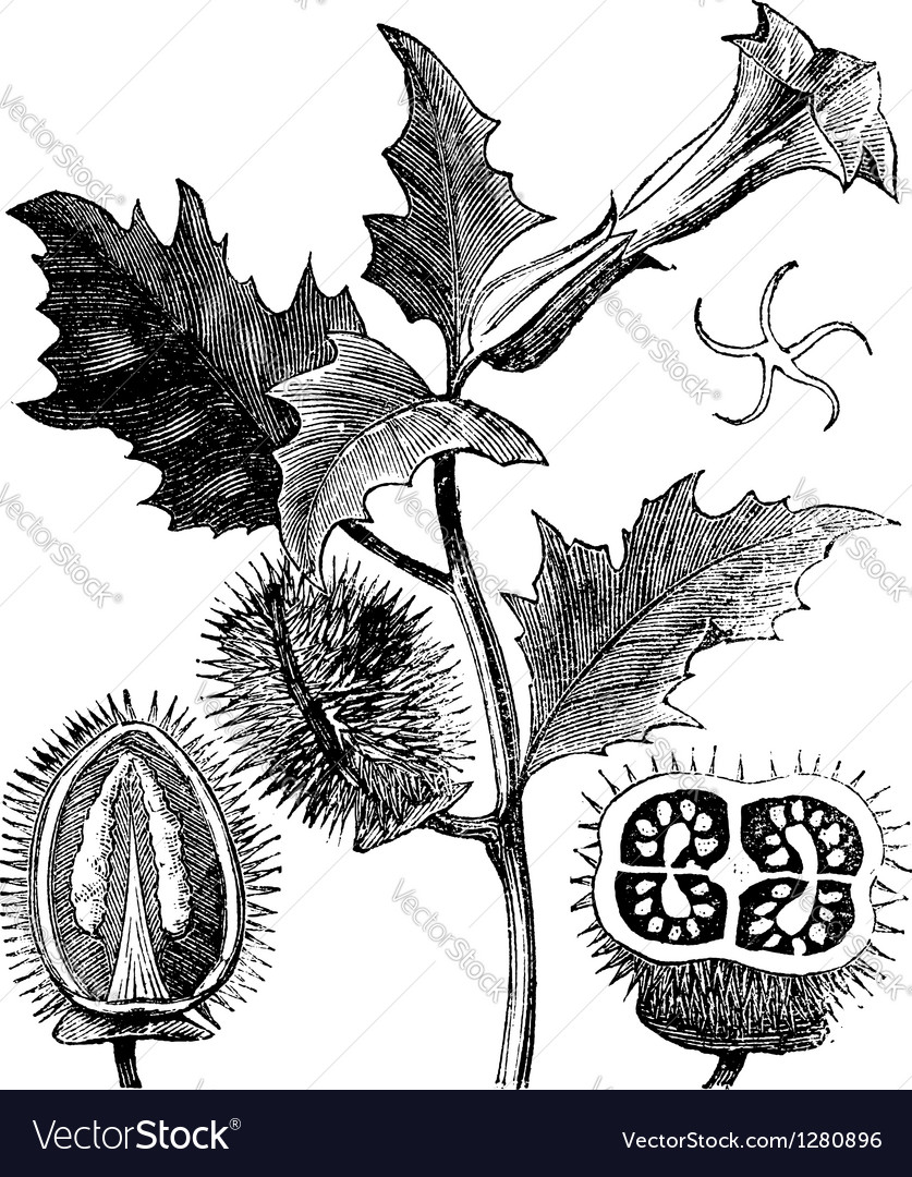Thorn apple engraving vector | Price: 1 Credit (USD $1)