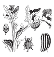 Colorado potato beetle engraving vector