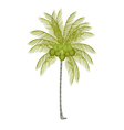 A palm tree with fresh green coconuts vector