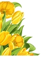 Yellow tulips on white background vector