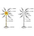 Neuron vector