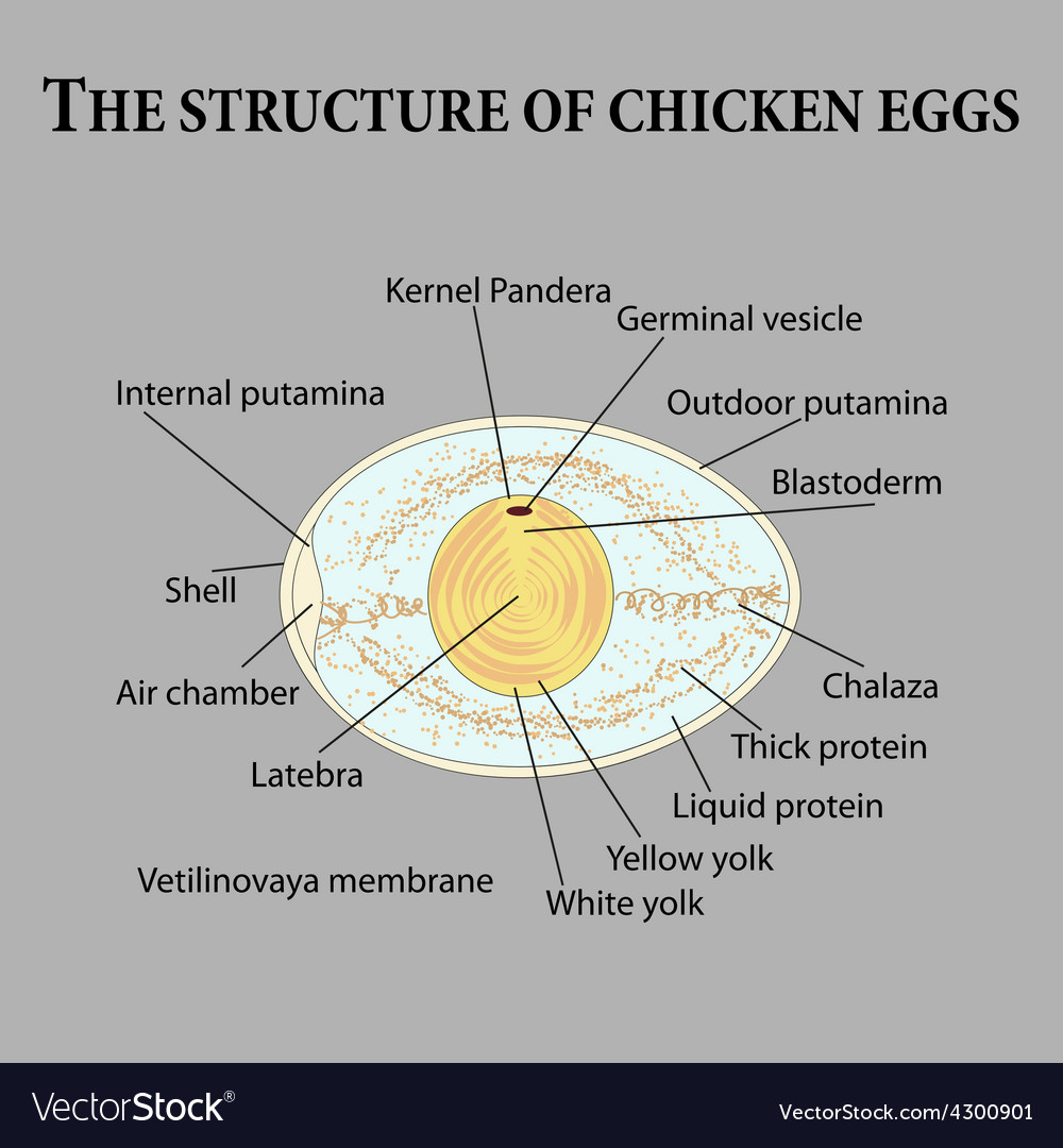 The structure of chicken eggs vector | Price: 1 Credit (USD $1)