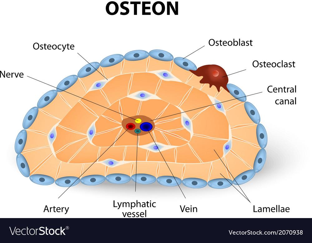 Osteon vector   Price: 1 Credit (USD $1)