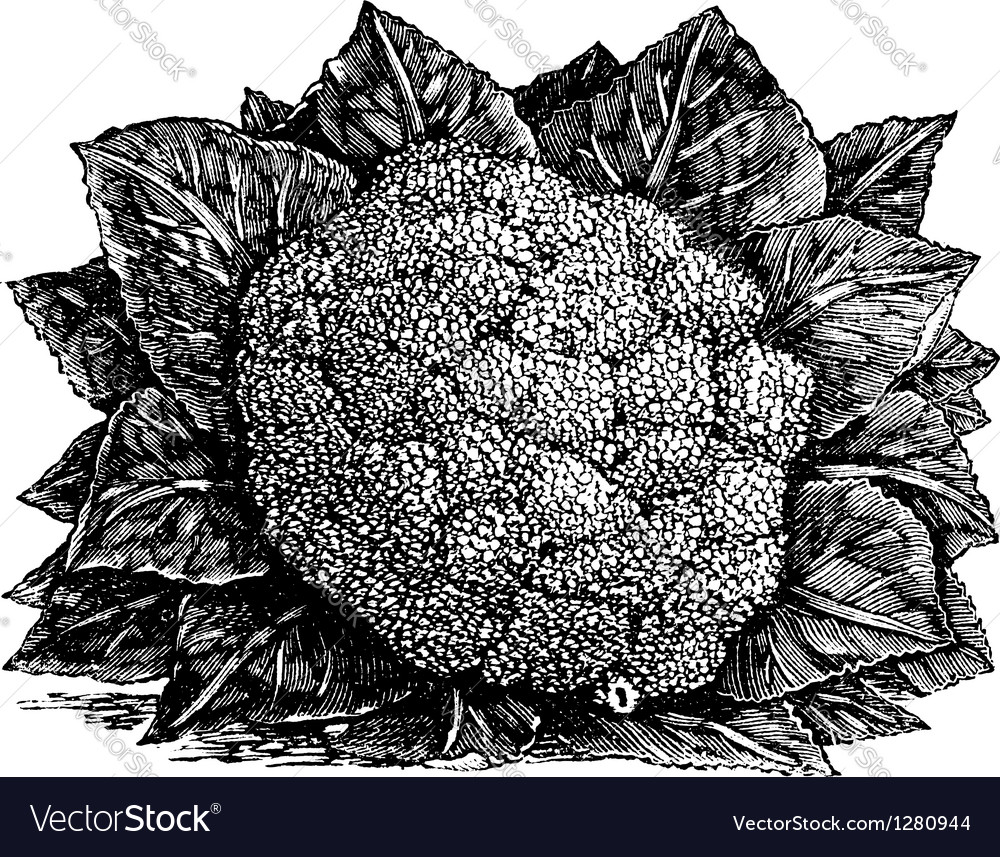 Broccoli vintage engraving vector | Price: 1 Credit (USD $1)