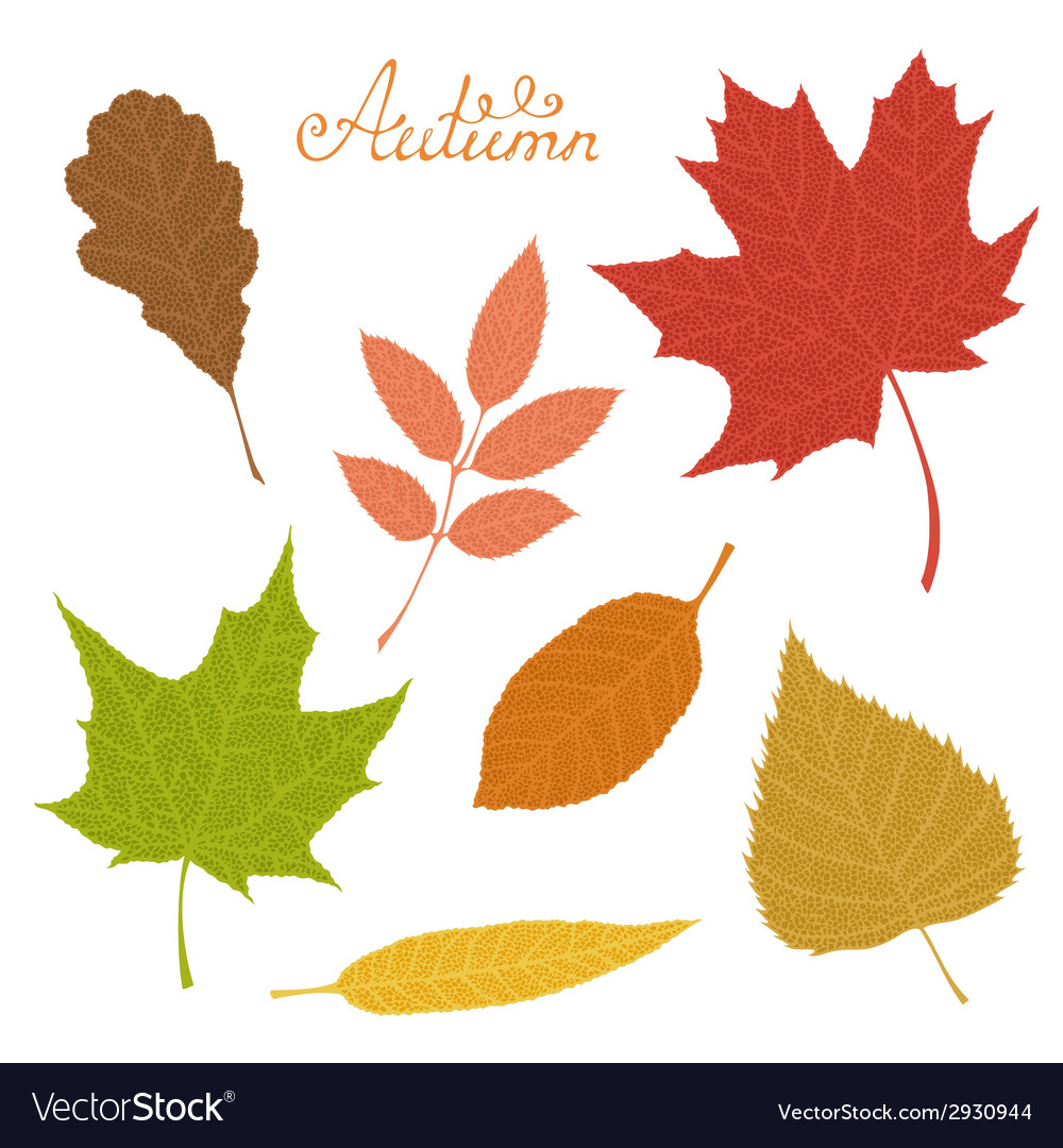 Set of veined autumn leaves isolated on white vector | Price: 1 Credit (USD $1)