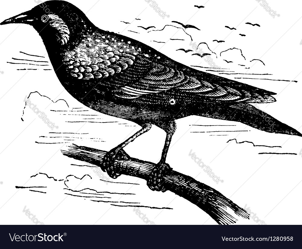 Common starling vintage engraving vector | Price: 1 Credit (USD $1)