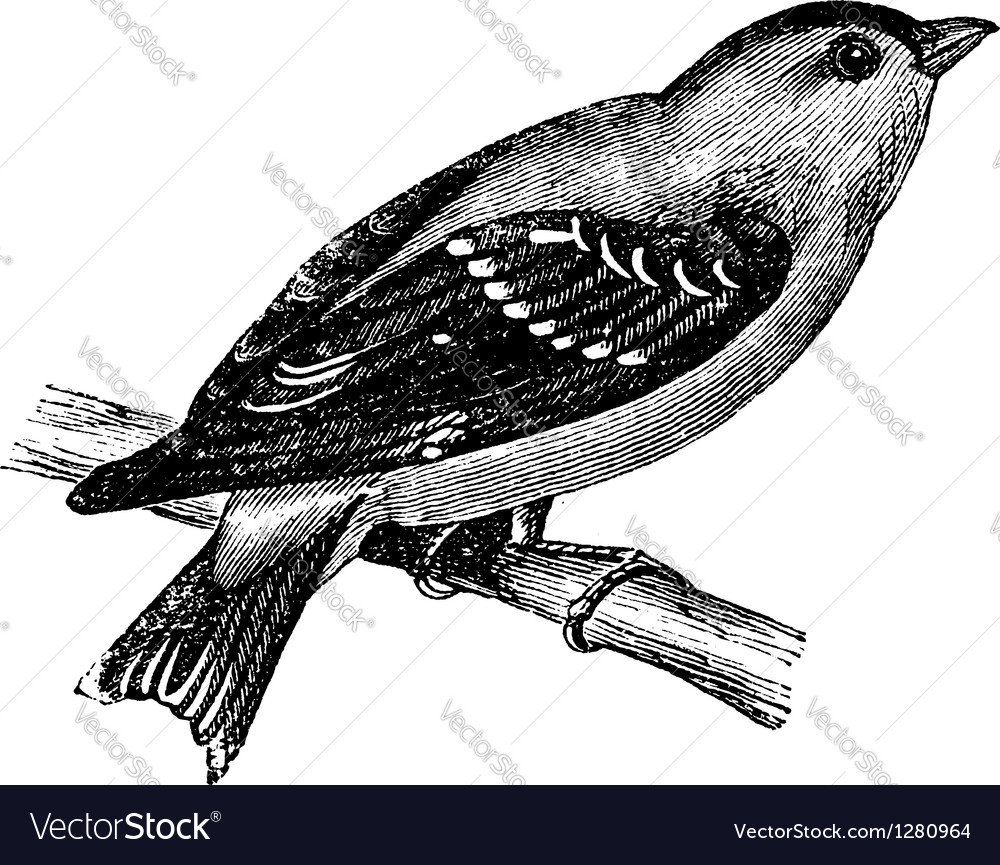 Wild canary vintage engraving vector | Price: 1 Credit (USD $1)