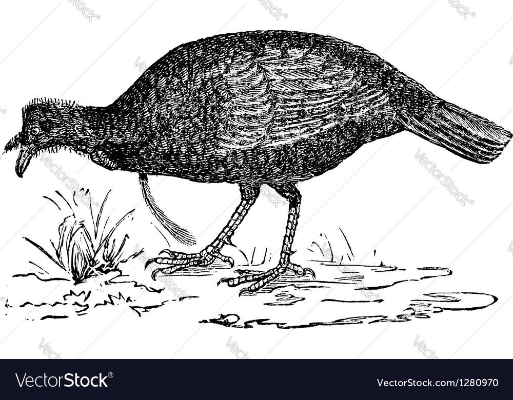 Wild turkey vintage engraving vector | Price: 1 Credit (USD $1)