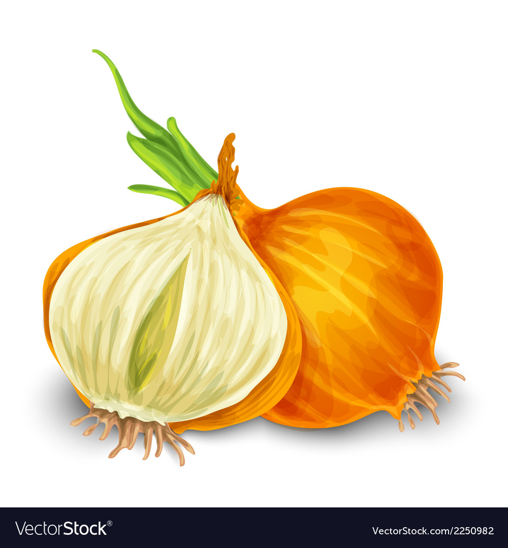 Onion isolated on white vector | Price: 1 Credit (USD $1)