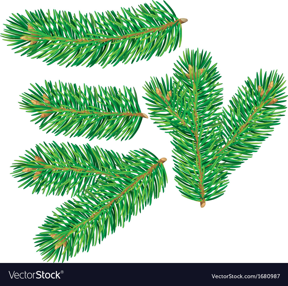 Branch of spruce vector | Price: 1 Credit (USD $1)