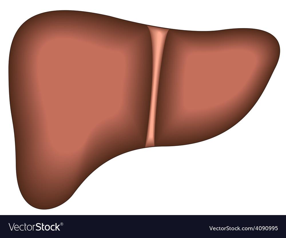Liver vector   Price: 1 Credit (USD $1)