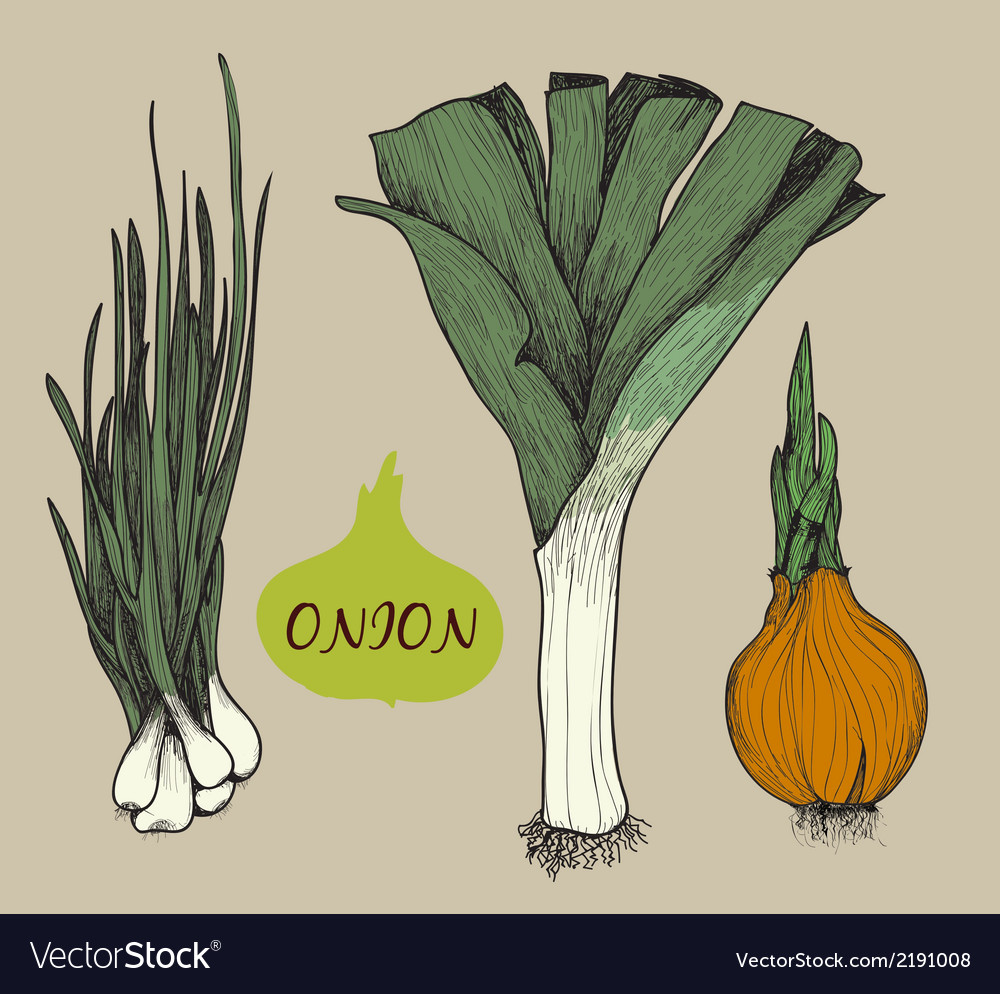 Onion set f vector | Price: 1 Credit (USD $1)
