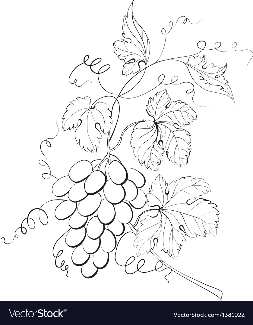 Grapes engraving vector | Price: 1 Credit (USD $1)
