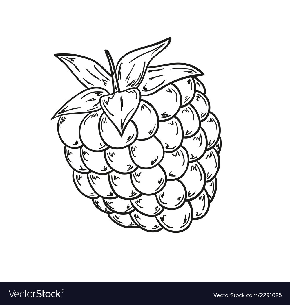 Raspberry sketch vector | Price: 1 Credit (USD $1)