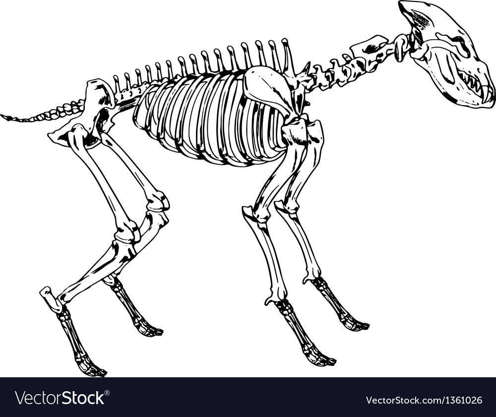 Skeleton of a hyena vector | Price: 1 Credit (USD $1)