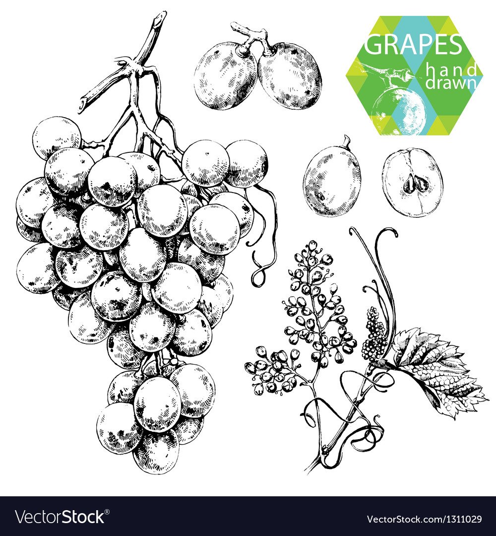 White grapes vector | Price: 1 Credit (USD $1)