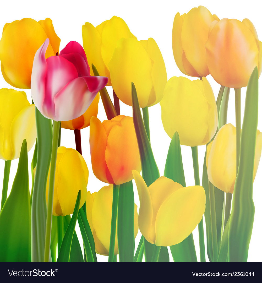 Yellow tulips card eps 10 vector | Price: 1 Credit (USD $1)