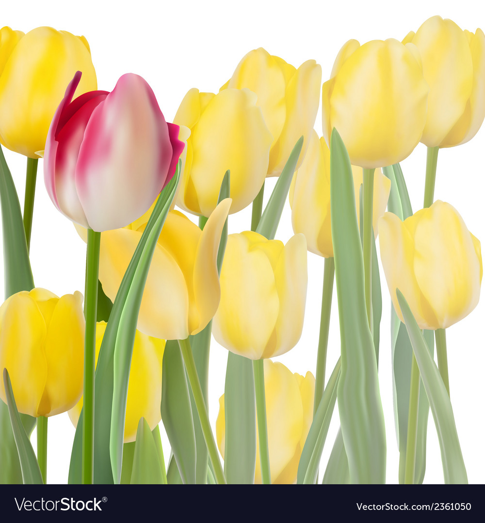 Fresh tulips isolated on white eps 10 vector | Price: 1 Credit (USD $1)