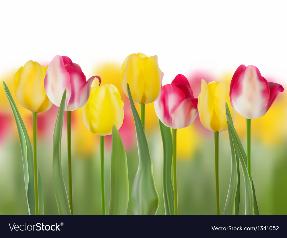 Pink tulip flower with copyspace eps 8 vector | Price: 1 Credit (USD $1)