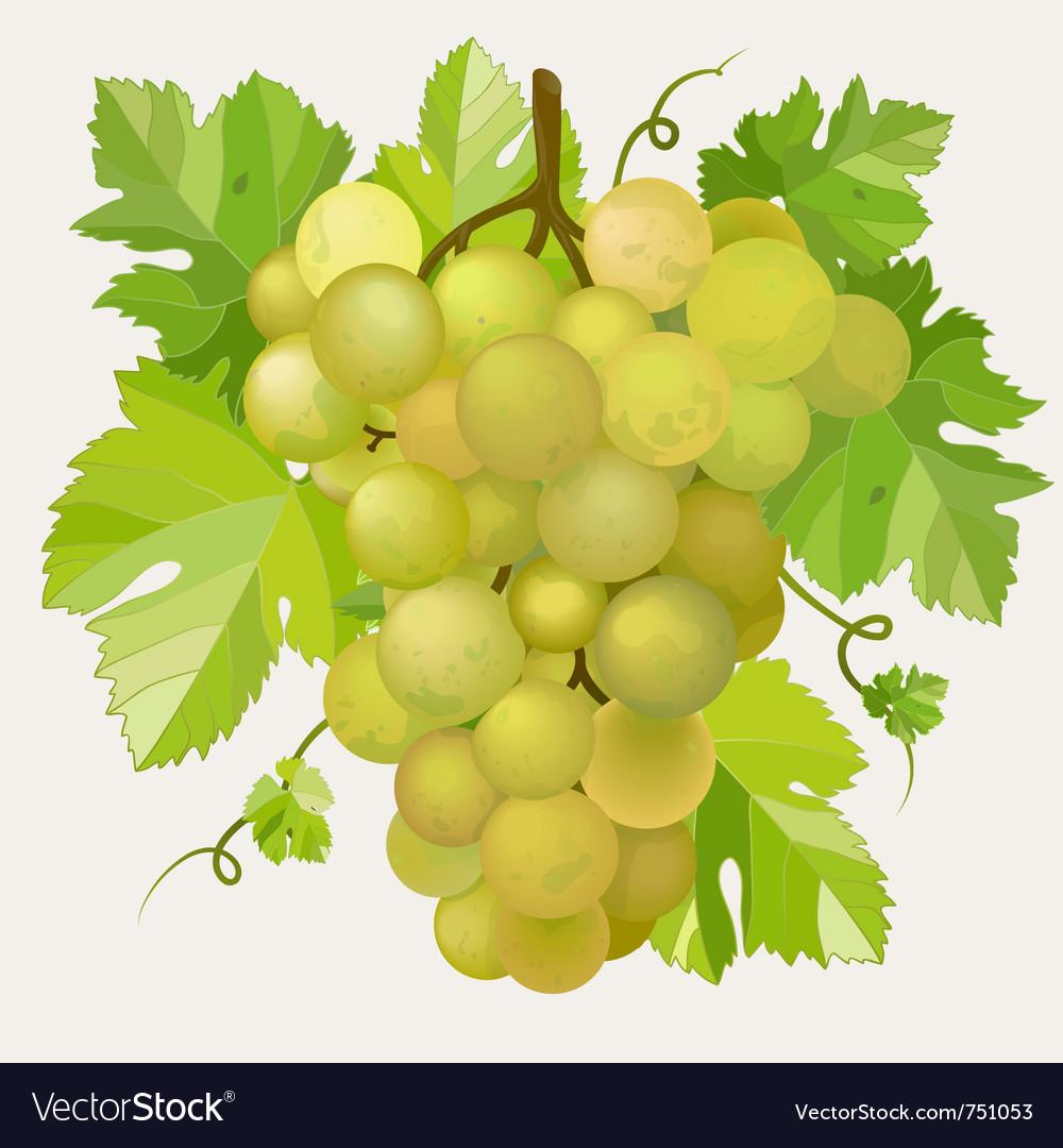 Green grapes vector | Price: 1 Credit (USD $1)