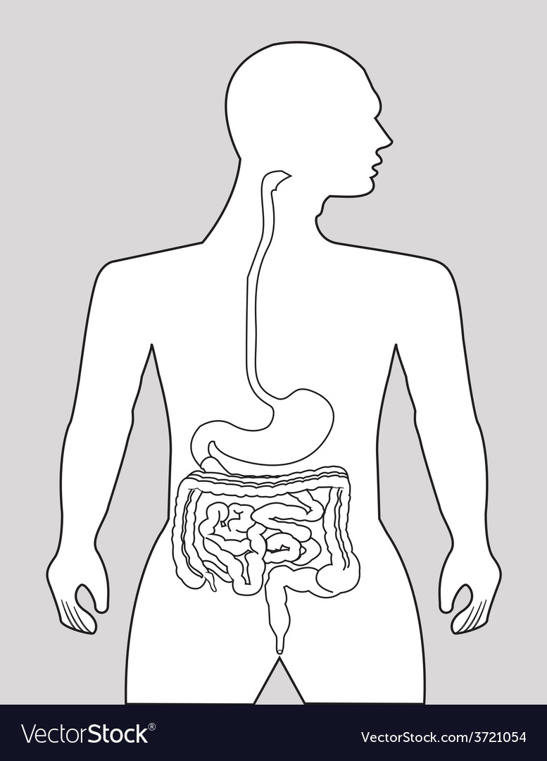 Gastrointestinal tract vector | Price: 1 Credit (USD $1)