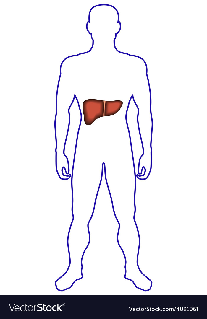 Liver in human body vector | Price: 1 Credit (USD $1)