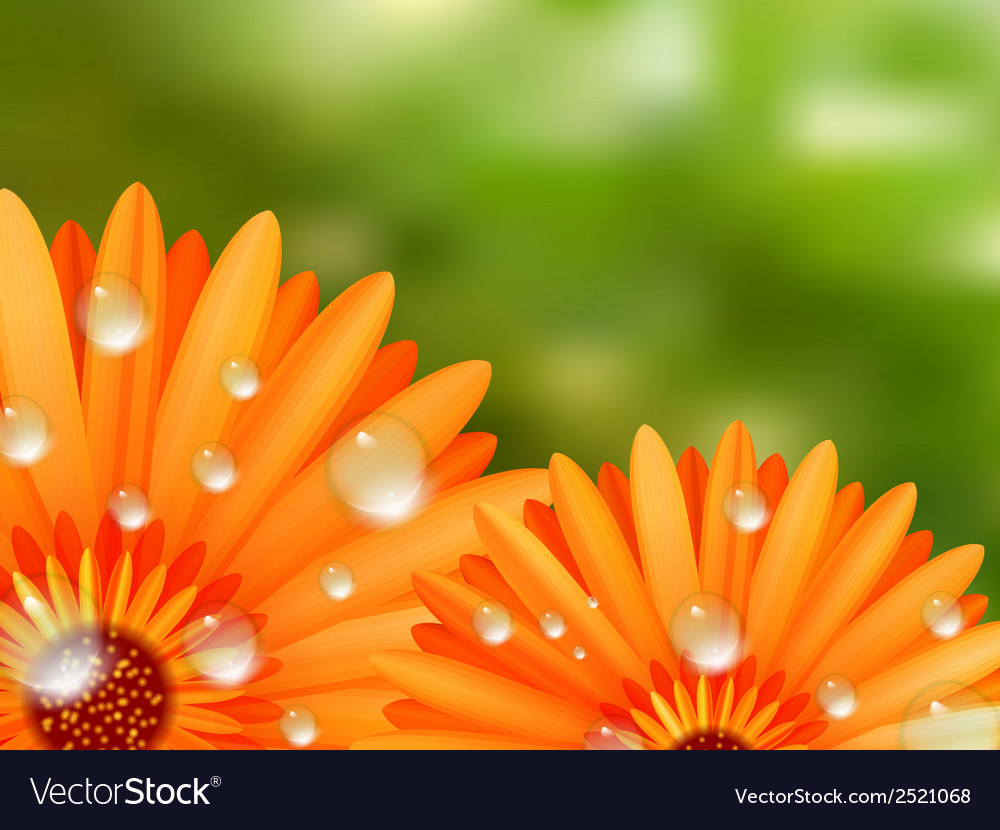 Gerber petals with water drops plus eps10 vector | Price: 1 Credit (USD $1)