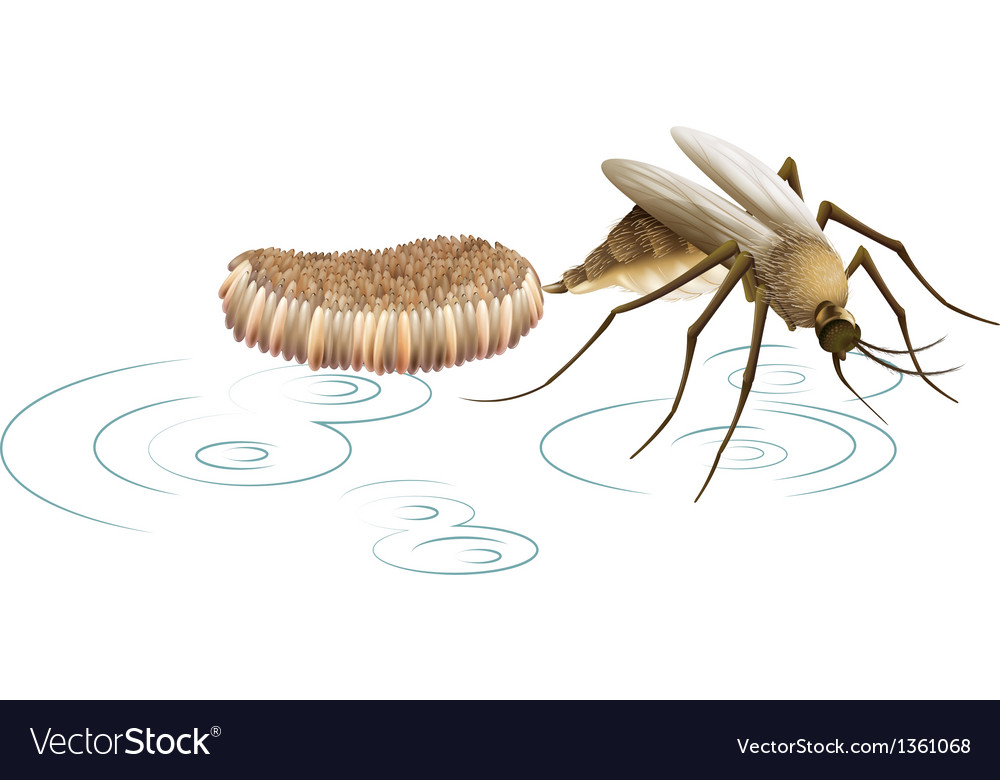 Mosquito laying eggs vector | Price: 1 Credit (USD $1)