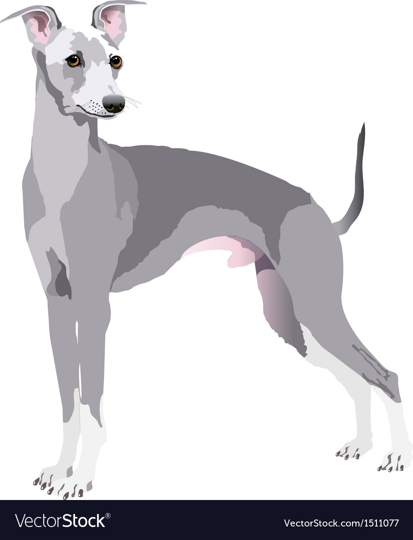 Greyhound dog vector | Price: 1 Credit (USD $1)