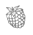 Raspberry sketch vector