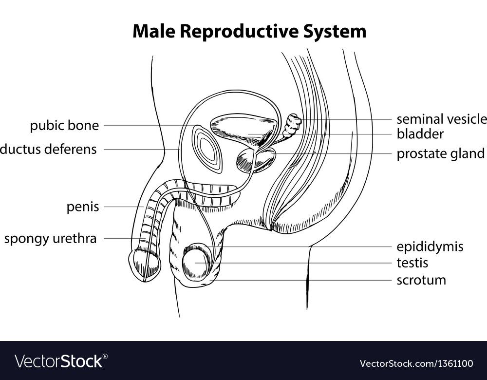 Male reproductive system vector | Price: 1 Credit (USD $1)