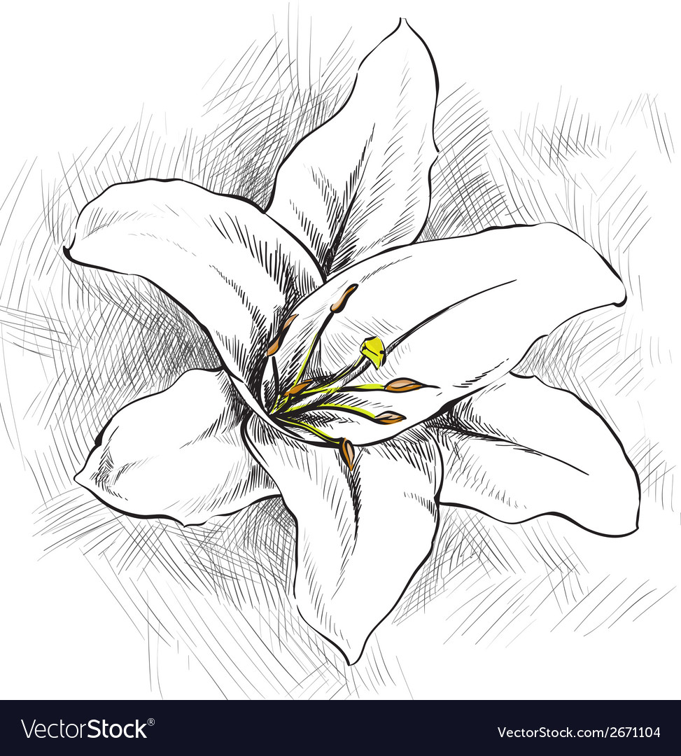 White lily vector | Price: 1 Credit (USD $1)