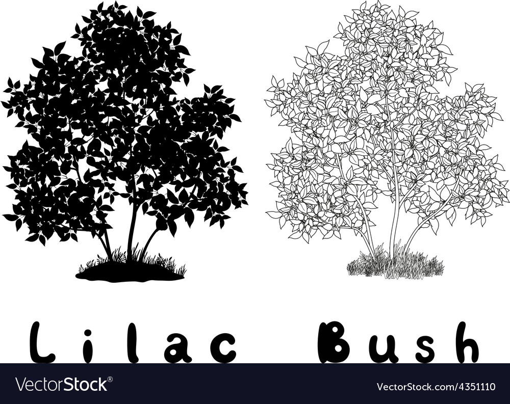 Lilac bush contours silhouette and inscriptions vector