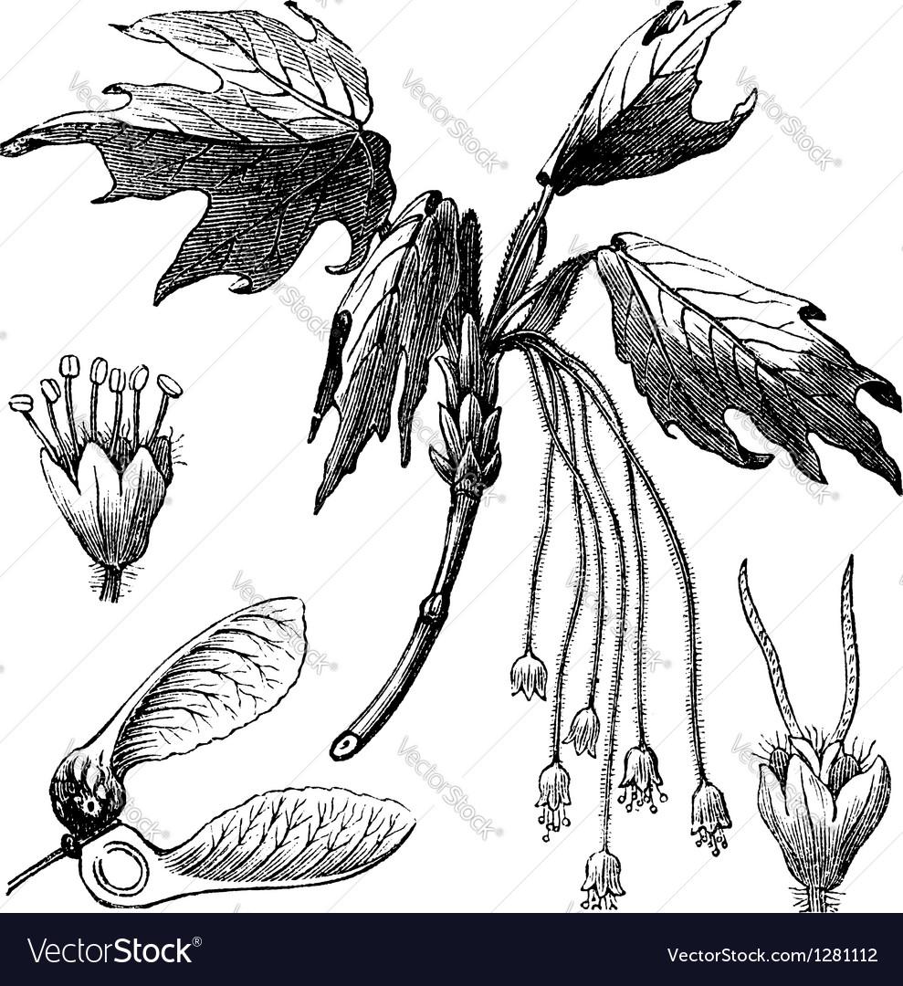 Creek maple vintage engraving vector | Price: 1 Credit (USD $1)