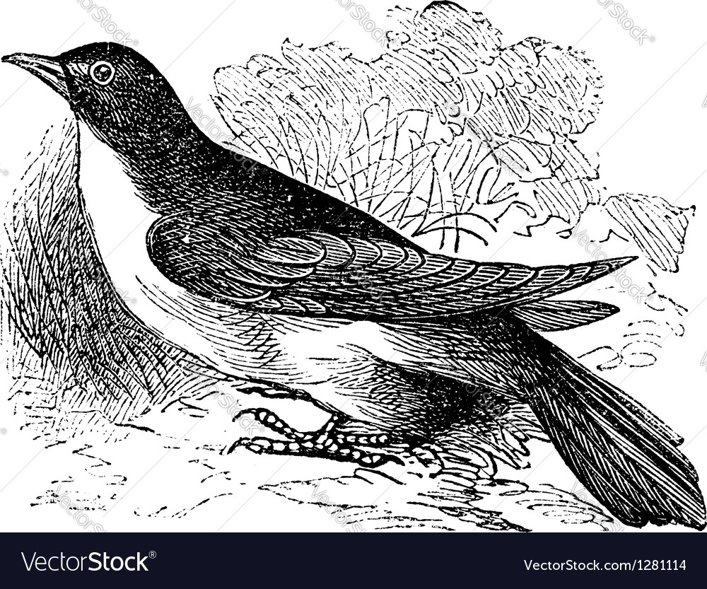 Yellow-billed cuckoo engraving vector   Price: 1 Credit (USD $1)