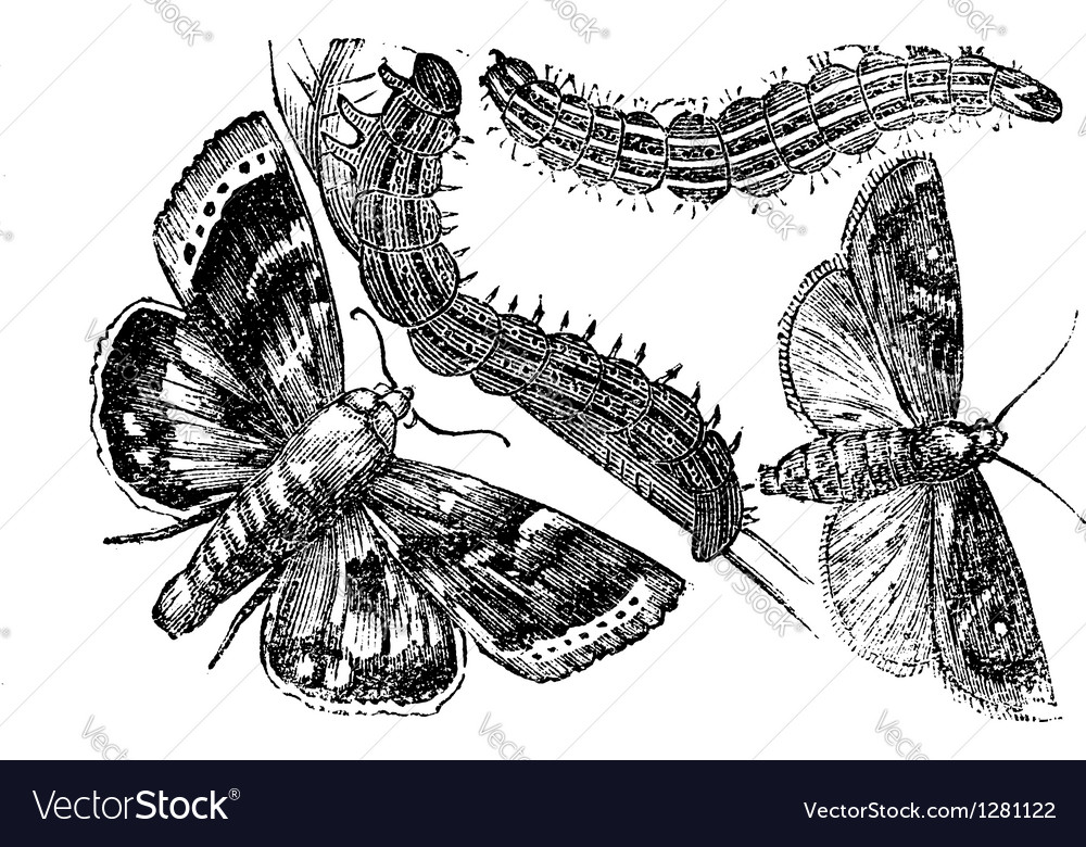 Owlet moth vintage engraving vector | Price: 1 Credit (USD $1)
