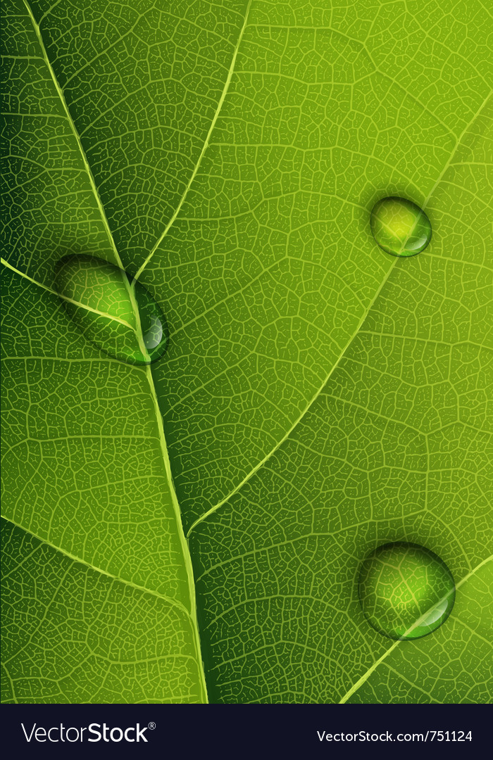 Droplets on leaf vector | Price: 1 Credit (USD $1)