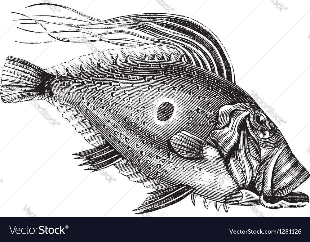 John dory vintage engraving vector | Price: 1 Credit (USD $1)